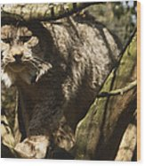 A Female Northern Lynx With Her Thick Wood Print