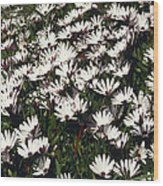 A Field Of Prolofic White Daisy Flowers Wood Print