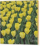A Field Of Yellow Tulips In Spring Wood Print