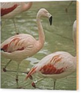 A Flock Of Chilean Flamingos Wading Wood Print