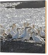 A Flock Of Gannets Standing On A Rock Wood Print