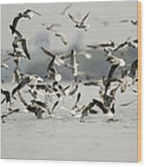 A Flock Of Laughing Gulls Larus Wood Print