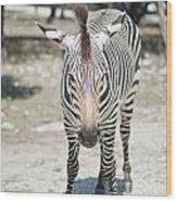 A Focused Zebra Wood Print