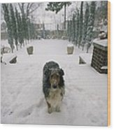 A Forlorn And Snow-dusted Sheltie Wood Print