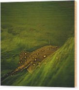 A Freshwater Stingray Swims In A Meadow Wood Print