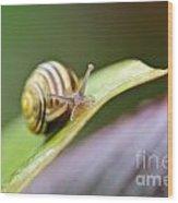 A Garden Snail Climbing On A Green Leaf  Wood Print