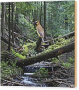 A Giant Cedar Waxwing On Mt Spokane Wood Print