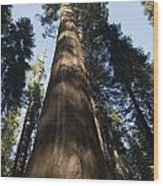 A Giant Redwood In The Mariposa Grove Wood Print