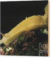 A Giant Yellow Chromodoris Wood Print by Sami Sarkis