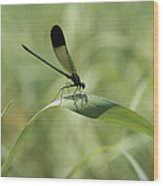 A Graceful Dragonfly Sitting On A Blade Wood Print