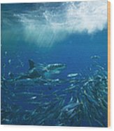 A Great White Shark Swims Close Wood Print