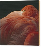 A Greater Flamingo With Its Head Wood Print