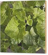 A Green Leafy Vegetable Plant After Watering In Bright Sunrise Wood Print
