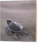 A Green Sea Turtle Hatchling Races Wood Print