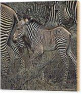A Grevys Zebra With Young In Samburu Wood Print