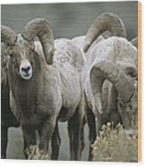 A Group Of Bighorn Sheep Rams Wood Print
