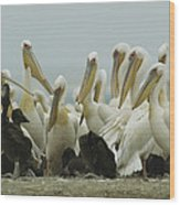 A Group Of Eastern White Pelicans Wood Print by Klaus Nigge
