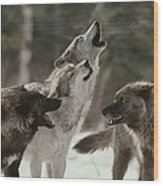 A Group Of Gray Wolves, Canis Lupus Wood Print