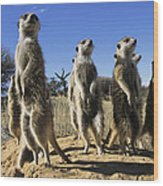 A Group Of Meerkats Standing Guard Wood Print