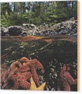 A Group Of Ochre Sea Stars Clustered Wood Print
