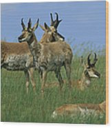 A Group Of Pronghorns In Buffalo Gap Wood Print