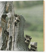A Group Of Young Racoons Peer Wood Print
