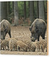 A Group Of Young Wild Boars Nose Wood Print