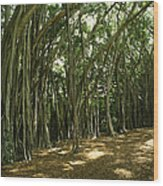 A Grove Of Banyan Trees Send Airborn Wood Print by Paul Damien