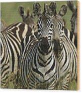 A Herd Of Zebras Standing Alert Wood Print