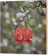 A Hibiscus Schizopetalus Flowers Wood Print