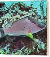 A Hogfish Swimming Above A Coral Reef Wood Print