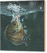 A Hooked Bluegill Wood Print