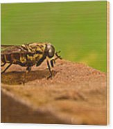 A Horse Fly Posing 1 Wood Print