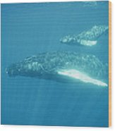 A Humpback Mother Swims With Her Calf Wood Print