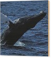 A Humpback Whale Breaching Wood Print