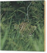 A Jaguar Peeks Out From The Foliage Wood Print