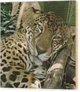 A Jaguar Rests On The Jungle Floor Wood Print