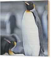 A King Penguin Stands On Pebbled Ground Wood Print