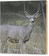 A Large Antlered White-tailed Deer Wood Print