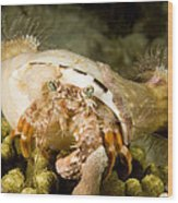 A Large Hermit Crab With Sea Anemones Wood Print
