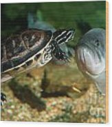 A Large Mouthed Bass And A Chicken Turtle In Aquarium In Cape Co Wood Print