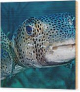 A Large Spotted Pufferfish Wood Print