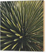 A Lechuguilla Plant In The Desert Wood Print