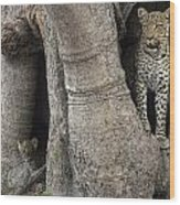 A Leopard And Cub Inside A Giant Baobab Wood Print