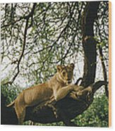 A Lion Panthera Leo Relaxes On A Tree Wood Print