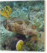 A Long-spined Porcupinefish, Key Largo Wood Print by Terry Moore