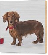 A Longhair Red Dachshund With A Small Wood Print