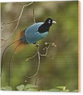 A Male Blue Bird Of Paradise Perched Wood Print by Tim Laman