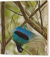 A Male Blue Bird Of Paradise Performing Wood Print by Tim Laman