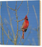 A Male Cardinal Sings In A Suburban Wood Print